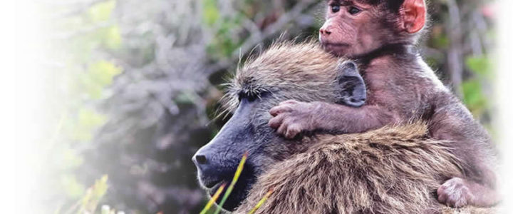 #Baboons #ConstantiaBaboons – Stand Together